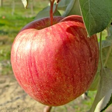 Michigan apple