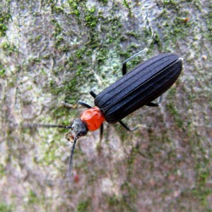 Red-necked False Blister Beetle -Asclera ruficollis