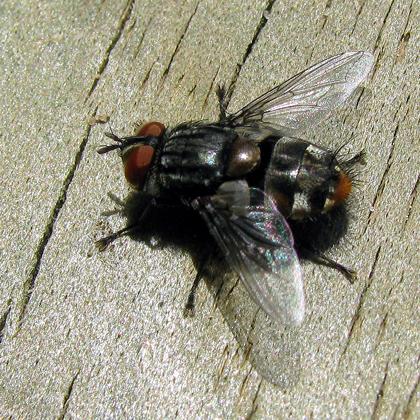 Tachinidae Winthemia