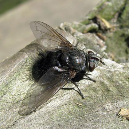 Tachinidae Leschenaultia