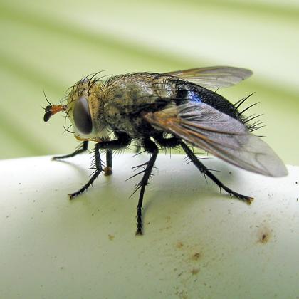 Tachinidae Archytas