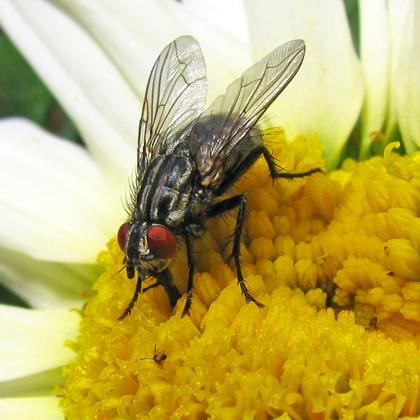 Flesh Fly-Sarcophaga