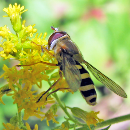 Syrphid Fly-Epistrophe