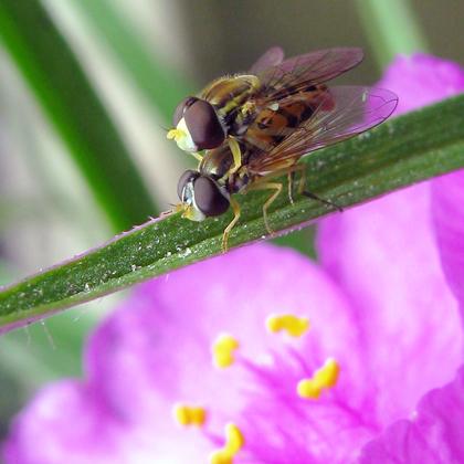 Syrphid Flies-Toxomerus marginatus