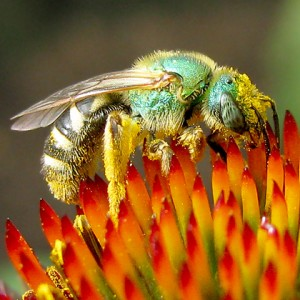 Metallic Green Bee