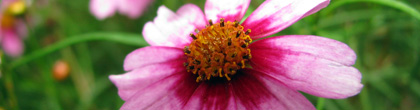 Tickseed -C. rosea