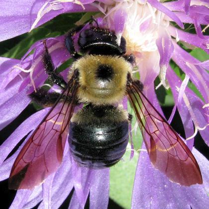 Eastern Carpenter Bee -Xylocopa virginica