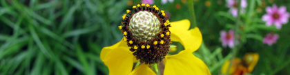 Prairie Coneflower -Ratibida columnifera