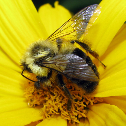 Common Eastern Bumble Bee -Bombus impatiens