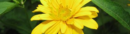 False Sunflower -Heliopsis helianthoides