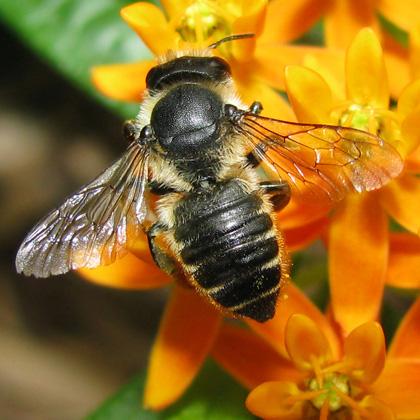 Leaf-cutting Bee