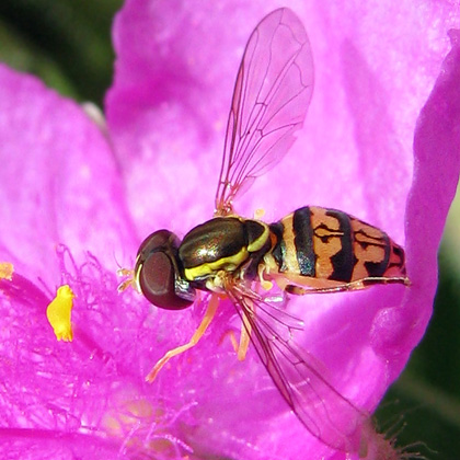 Syrphid Fly -Toxomerus geminatus