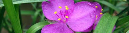 Spiderwort -Tradescantia ohiensis