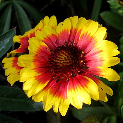 Blanket Flower -Gaillardia grandiflora 'Arizona Sun'