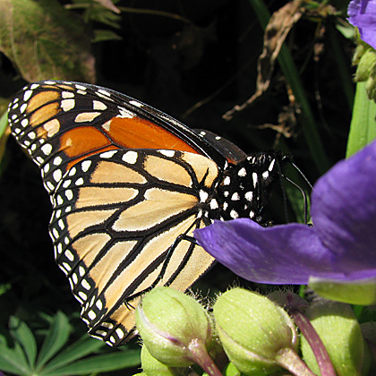 Monarch butterfly on Spiderwort in October