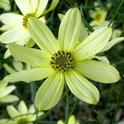 Tickseed -Coreopsis verticillata