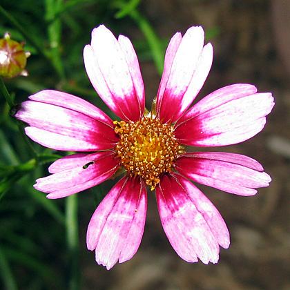 Pink Tickseed -Coreopsis rosea