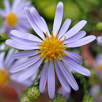 Bluebird Smooth Aster