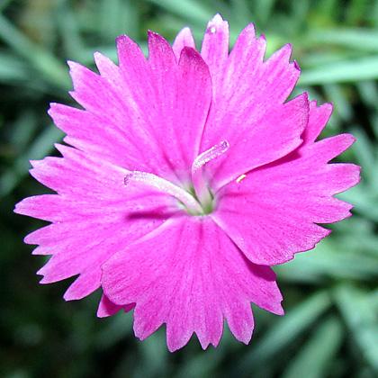 Pinks -Dianthus gratianopolitanus 'Firewitch'
