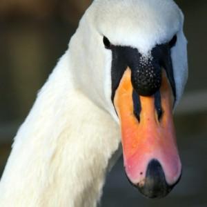Invasive Mute Swans