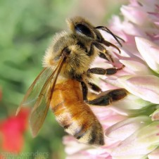 Western Honey Bee -Apis mellifera - winter bee