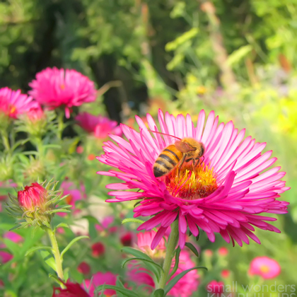 Honey bee on New England Aster