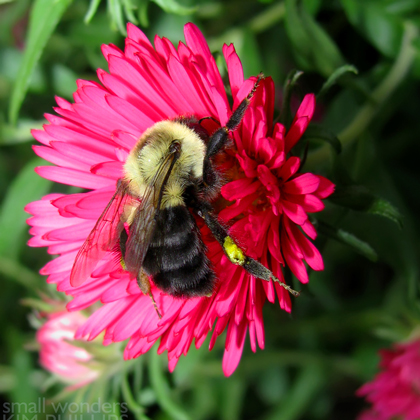 Bombus impatiens on New England Aster