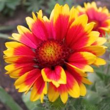 blanket_flower_gaillardia3