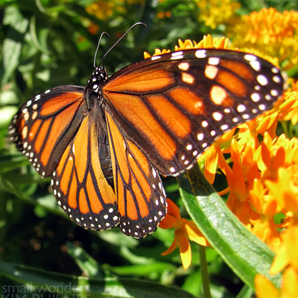 Monarchs, Milkweeds, and More