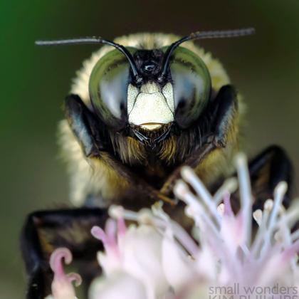 Eastern Carpenter Bee (Xylocopa virginica)