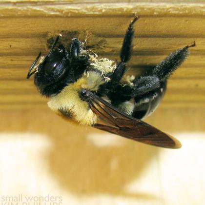 Eastern Carpenter Bee Nesting