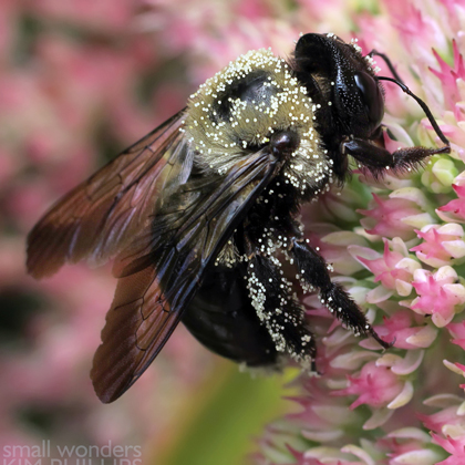 Eastern Carpenter Bee Covered in Pollen
